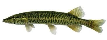 Pickerel Fishing Supplies