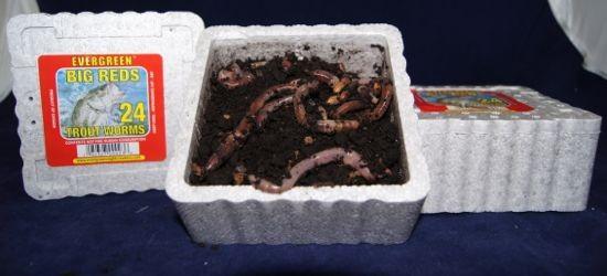 big reds trout worms ~ 24 per tub - live bait - live bait, Fly Fishing Bait