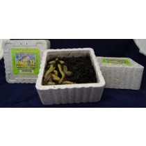Large Green Nightcrawlers ~ 12 per tub - OUT OF STOCK FOR SEASON