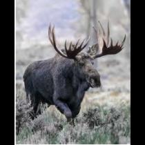 Majestic Moose Micro Mink Throw
