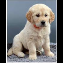 Golden Puppy Micro Mink Throw