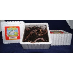 Big Reds Trout Worms ~ 24 per tub
